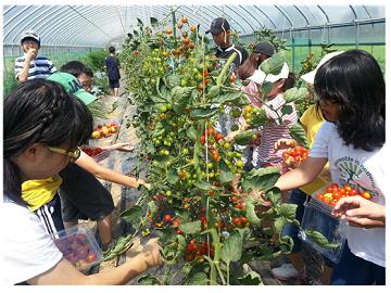어린학생들이 스타팜현장체험으로 토마토를 따고 있는모습